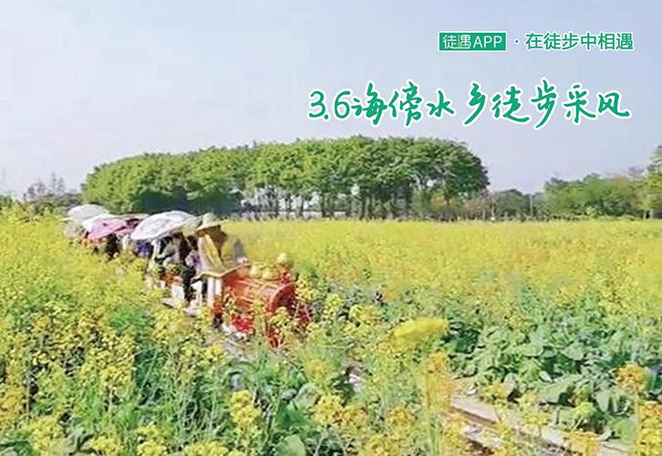 3.6海傍水乡徒步采风,数百亩油菜花开放